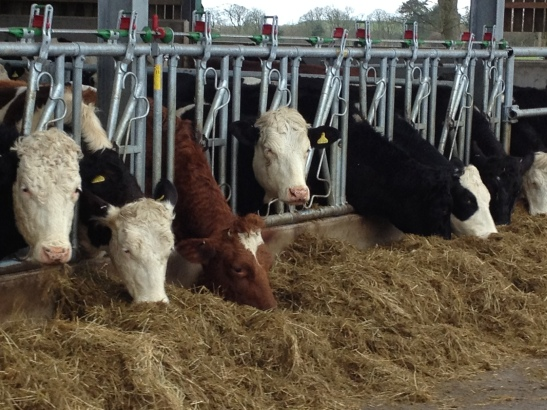 Self locking yokes for heifers
